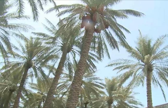 النخلة العربية والسعي لمكان بقائمة التراث العالمي