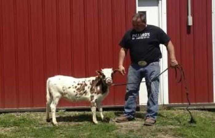 مزارع يستعرض سلالة نادرة من الأبقار القزمة!