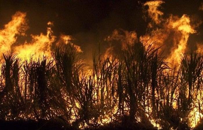لماذا تحرق الصقور الأسترالية الغابات؟