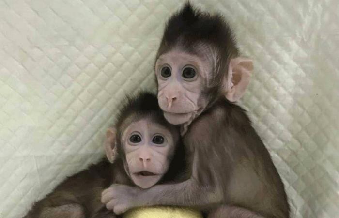 استنساخ القرود أصبح واقعا؟