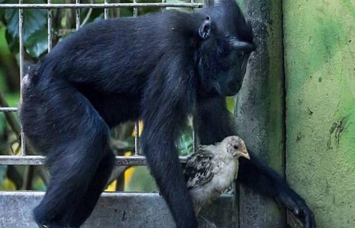 بالفيديو… صداقة قرد ودجاجة تتفوّق على كلّ الصداقات