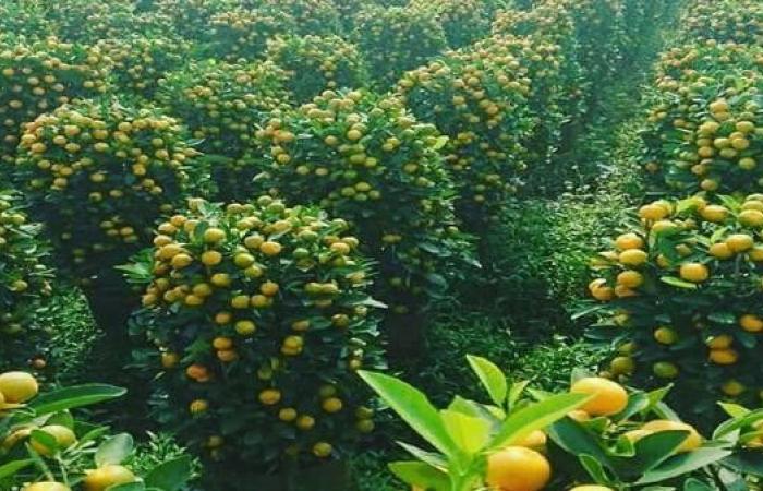 مدينة يمنية صحراوية تنتج 130 ألف طن برتقالاً سنوياً