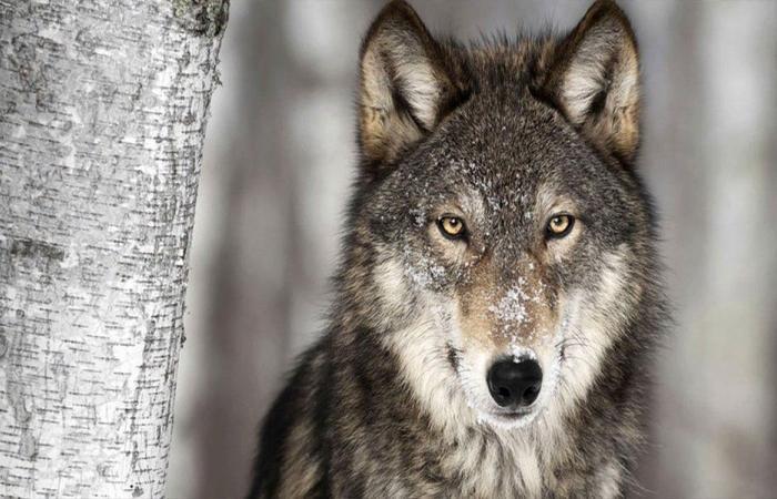 بالفيديو… ذئب ينقض على صياد بعدما تظاهر بالموت!