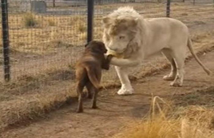 بالفيديو… أسد يقبّل يد كلبة!