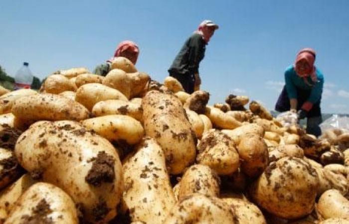 دعوات لإنقاذ موسم البطاطا.. قبل أن تحلّ الكارثة!