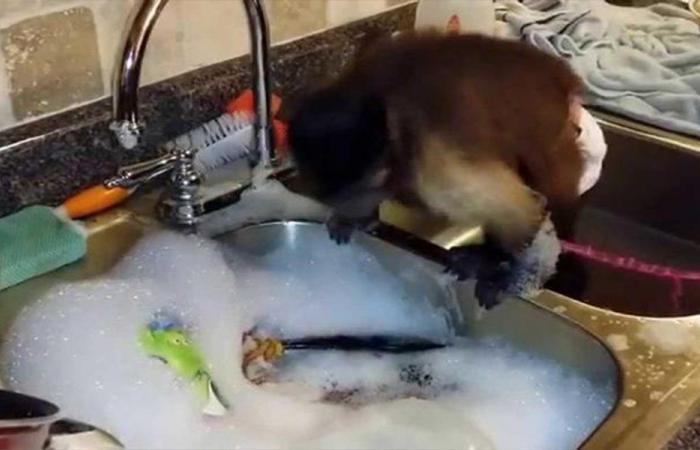 بالفيديو… قرد يغسل الصحون بحرفية!