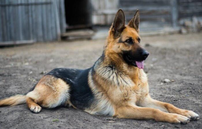 بالصور… أخطر 10 كلاب في العالم!