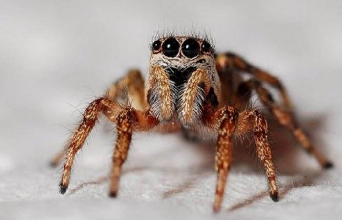وفاة أكبر عنكبوت سنا في العالم!
