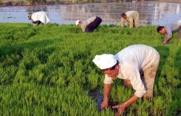 مصدر بالري للشروق: قرار بزيادة مساحات زراعة الأرز 100 ألف فدان بمياه الصرف