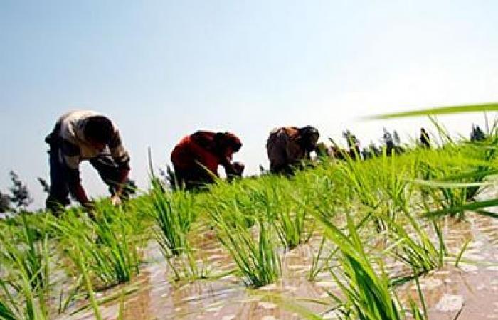 فيديو.. «الزراعة»: 724 ألف فدان مساحة الأزر المنزرع العام الحالي