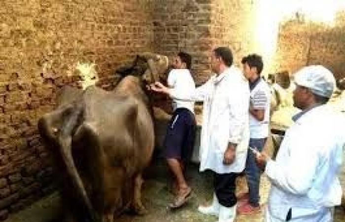 «الزراعة»: تحصين 2.2 مليون رأس ماشية ضد الحمى القلاعية