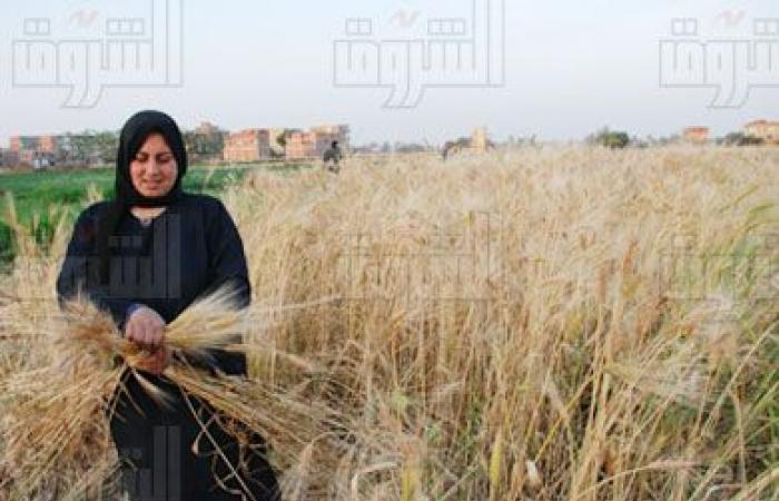 حصاد 3 ملايين فدان قمح حتى الآن.. واستمرار التوريد لـ«التموين»