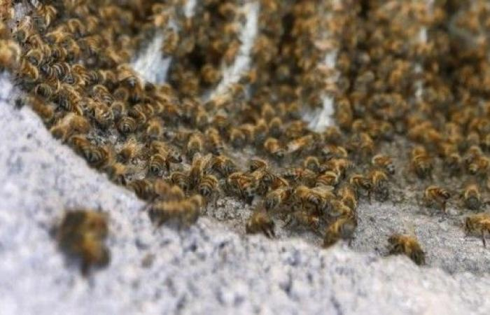 إمرأة تصارع الموت بعدما هاجمتها 80.000 نحلة !