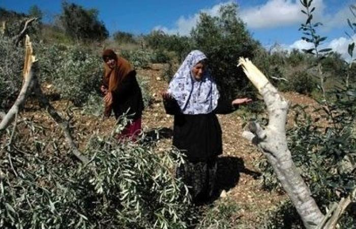 فلسطين   بيت لحم: مستوطنون يقتلعون المئات من أشتال الكرمة والزيتون