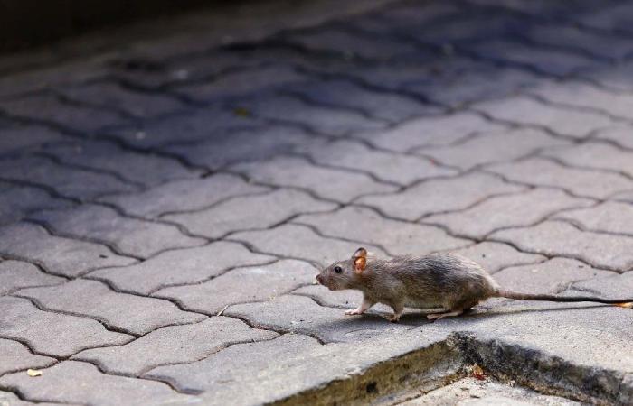 تسجيل أول حالة إصابة بشرية بالتهاب الكبد (E) الذي يصيب الفئران فقط