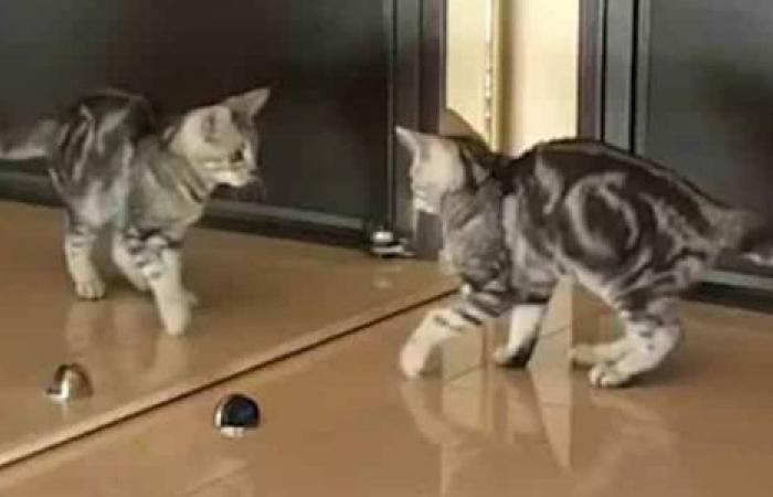 بالفيديو: قط يبحث عن نفسه أمام المرآة