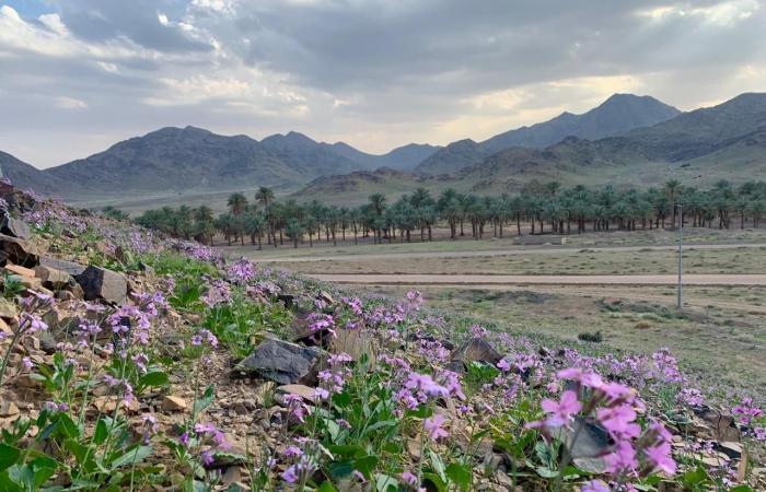 الخليح | صور تأسر القلب.. هذه الزهور البنفسجية تلون جبال القصيم