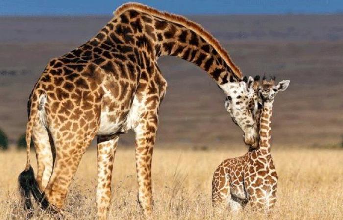 الزرافات على حافة الانقراض.. والسبب السلوك البشري!
