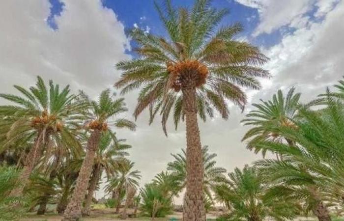 مصر   بـ2.5 مليون نخلة.. مصر تقيم أكبر مزرعة تمور في العالم