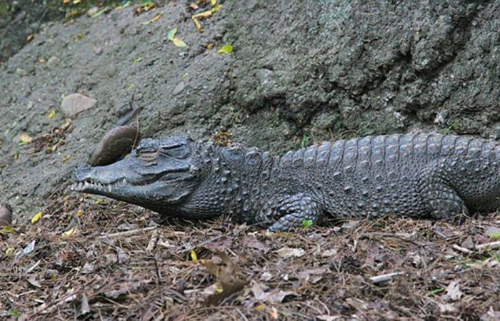 """بالفيديو: تمساح مفترس يصنع نهاية """"صائد الأسود"""""""