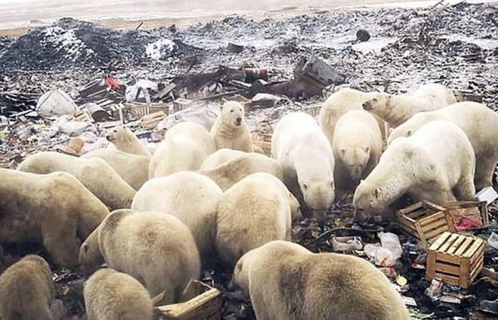 غزو الدب القطبي يرعب روسيا