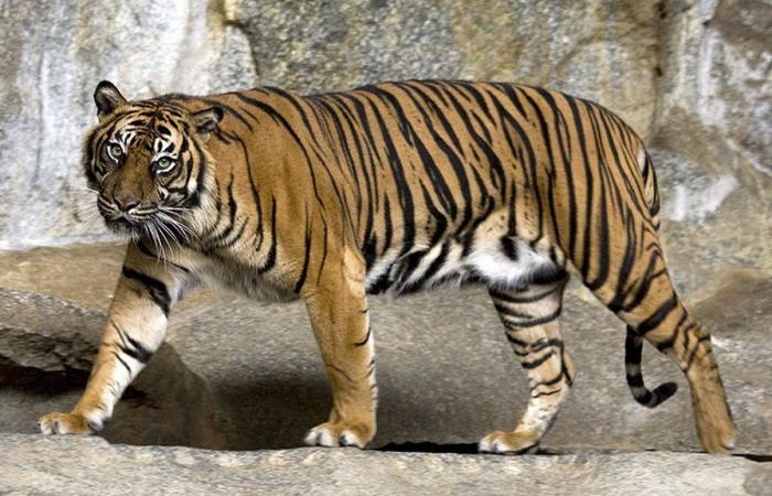 حديقة حيوانات لندن تنفي مسؤوليتها عن نفوق أنثى حيوان من نمور سومطرة