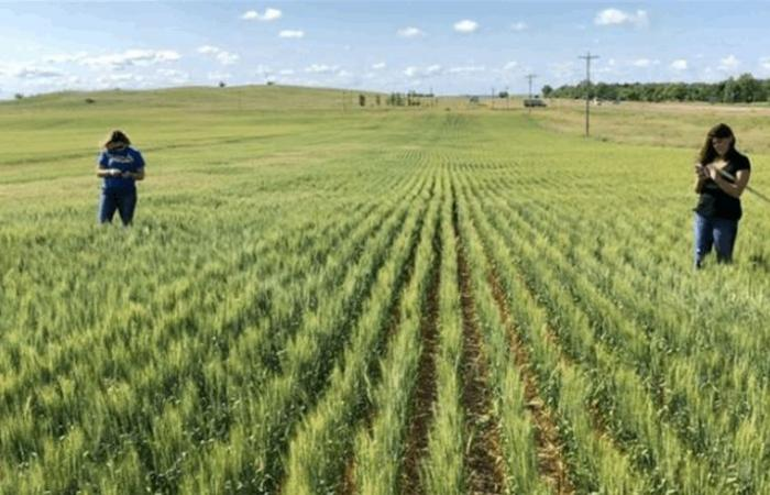 العراق يسعى لشراء 50 ألف طن من القمح