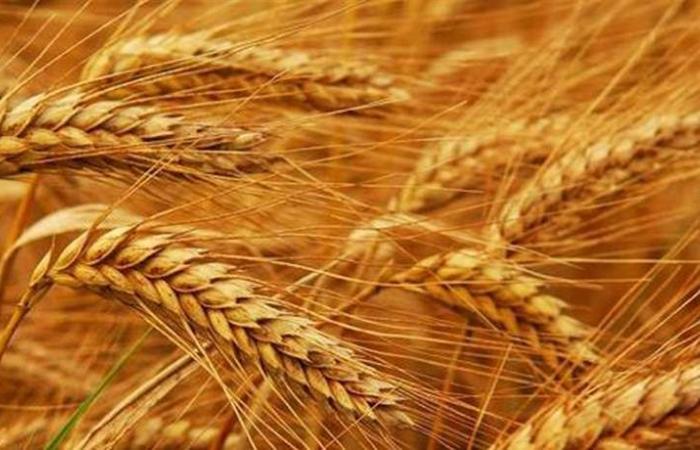 الأردن يشتري 60 ألف طن من القمح الصلد في مناقصة