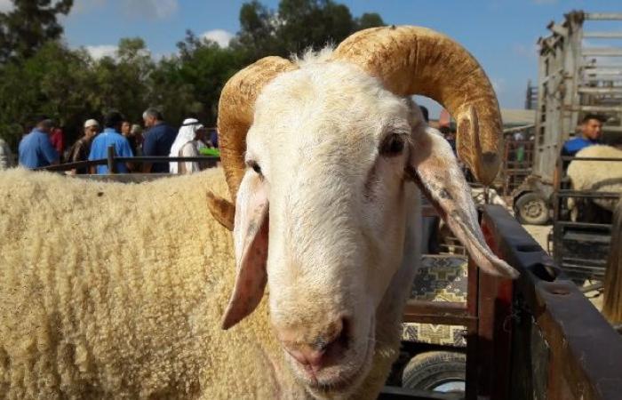 فلسطين | الزراعة: كميات الأضاحي المتوفرة في غزة تغطي حاجة المواطنين