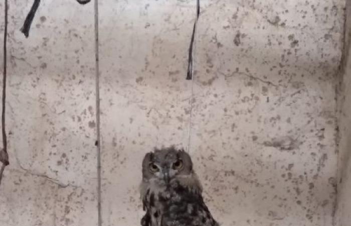 فلسطين | سلطة جودة البيئة تحرر طائر البوم النسري من مواطن في نابلس