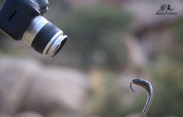 الخليح | شاهد.. أفعى الكوبرا تنقض على كاميرا مصور سعودي وهذا ما حدث