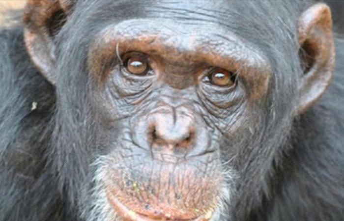 اكتشاف داخل جسد الشمبانزي يدل على مرض خطير قد يصيب البشر