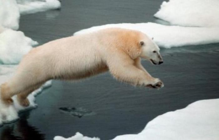 """تحذير علمي من انقراض """"الدب القطبي"""".. بهذا العام"""