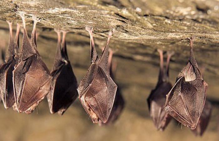 مفاجأة علمية .. فيروس 'كورونا' تطور لأول مرة بالخفافيش في هذا العام