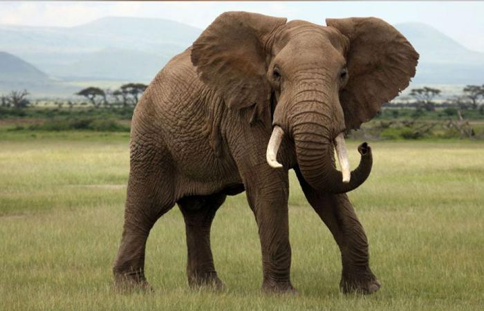 فيلة تتعاطى القنب… للحدّ من الكآبة