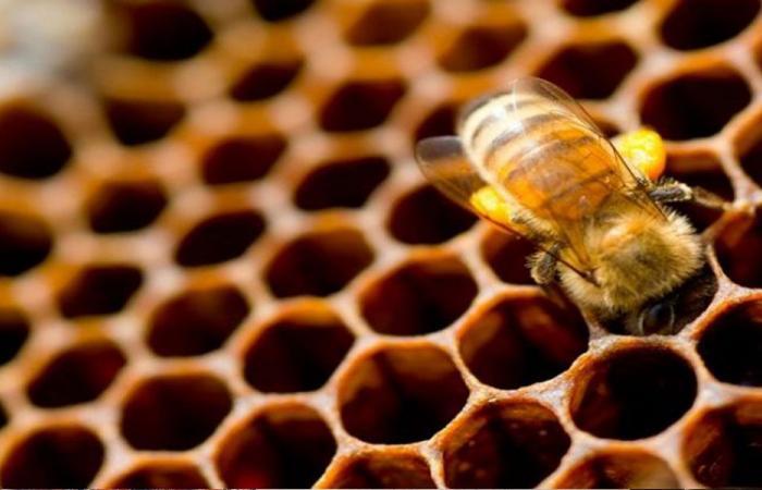 هل يساعد سم نحل العسل في محاربة سرطان الثدي؟