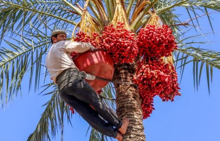 غزة: كورونا يحاصر زراعة البلح