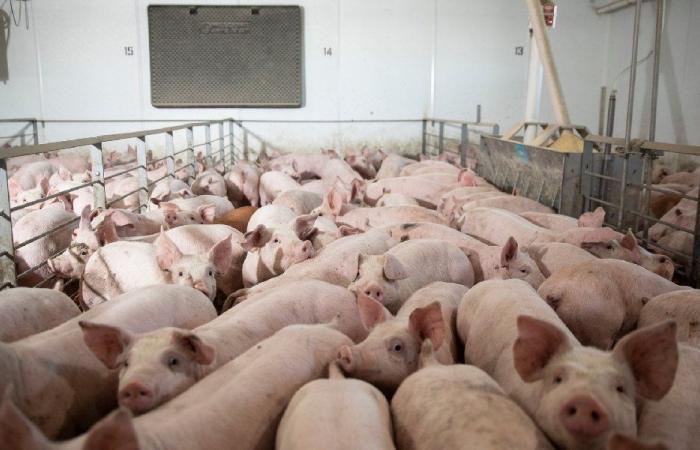 """اختبارات """"كورونا"""" على الخنازير"""