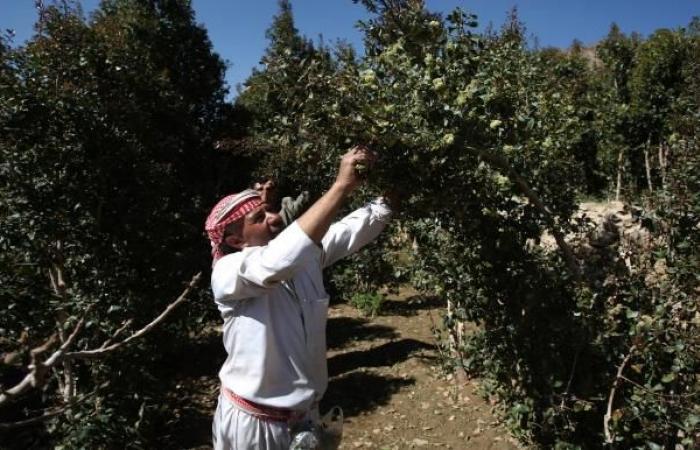 تفاح اليمن يدخل منافسة صعبة مع المستورد