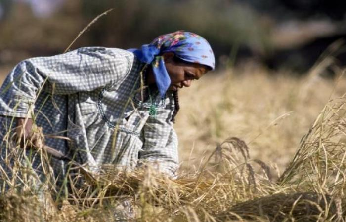 مزارعو الأرز في مصر يحصون خسائرهم وسط ارتفاع تكاليف الإنتاج