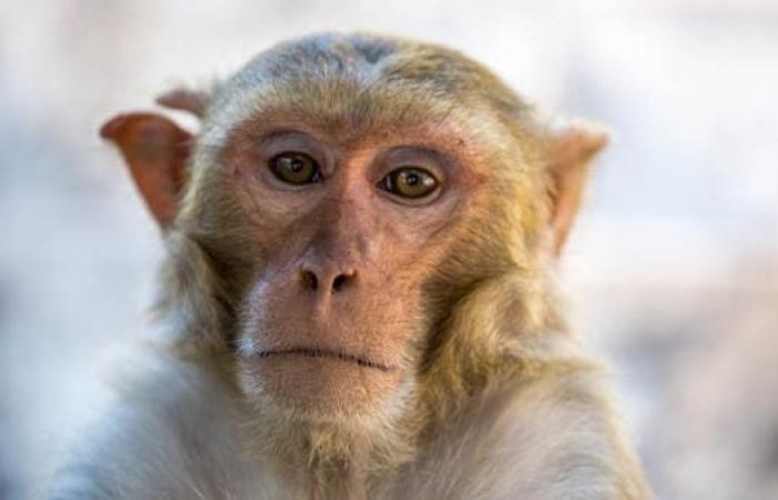 """بالفيروس """"القردي"""".. الصين تسجل أول وفاة بشرية"""