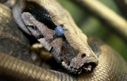 اكتشاف الثعبان الأقدم في العالم: عمره 99 مليون سنة!